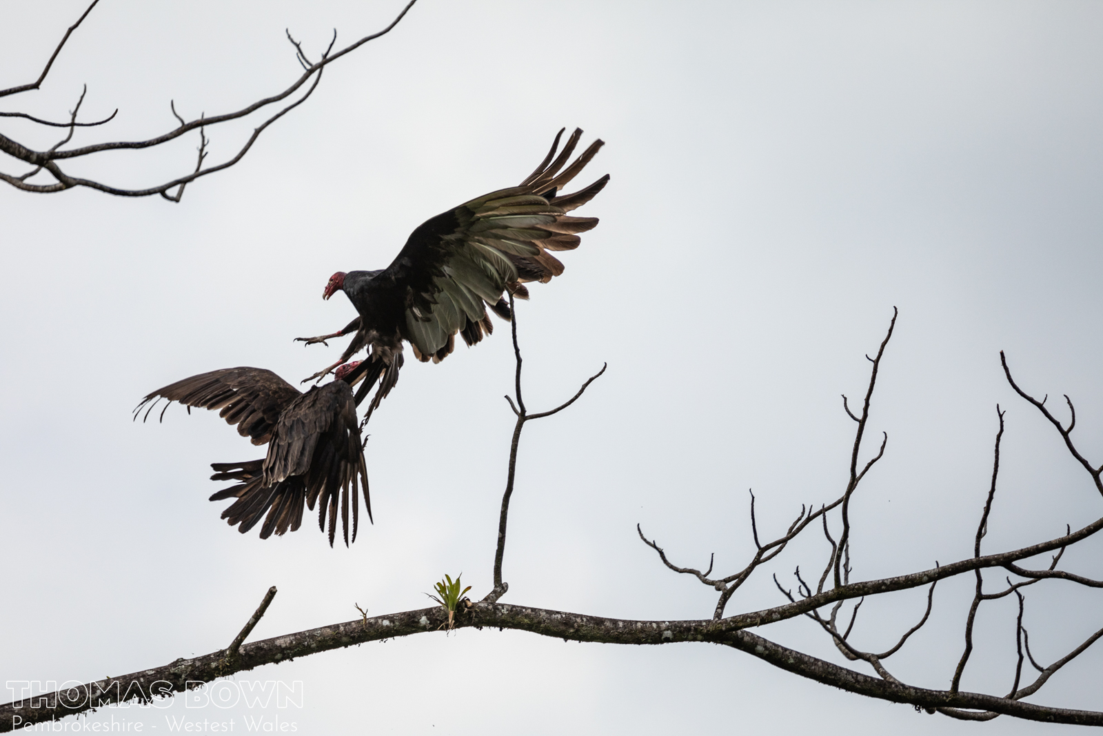 Turkey Vultures Fighting