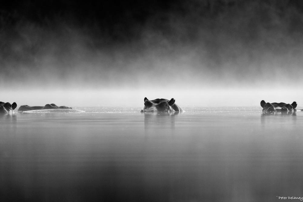 Hippos in Mist, FujiFilm XT-2, 100-40mm Lens