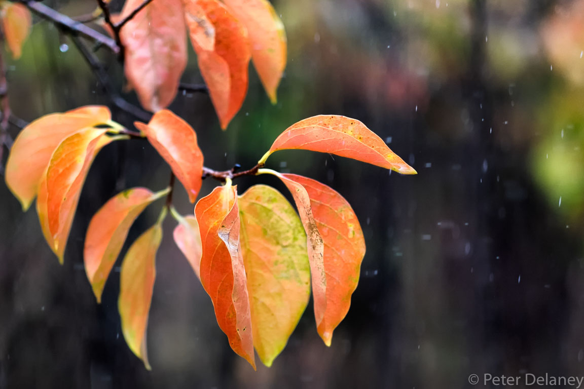 Autumnal Leaves in Rain,