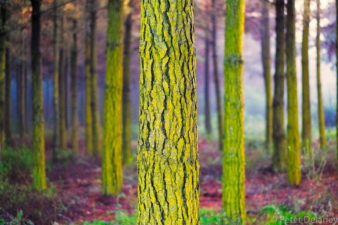 Pine Tree and Moss