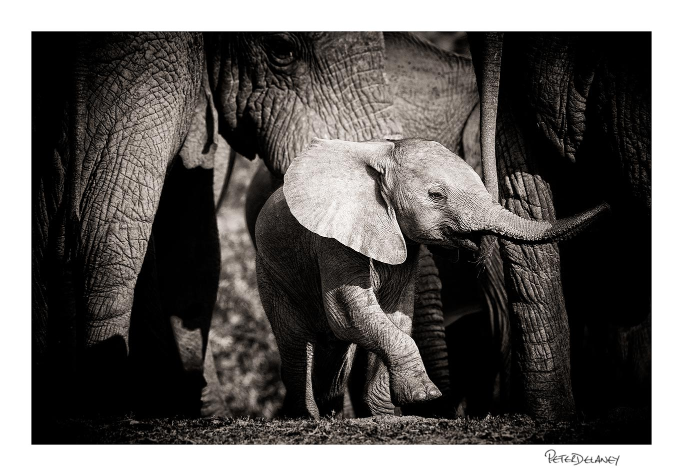 """""""Spirited"""" Baby Elephant Playing under Mothers Watchful Gaze,  FujiFilm XT-2, 100-400mm rested on a beanbag"""