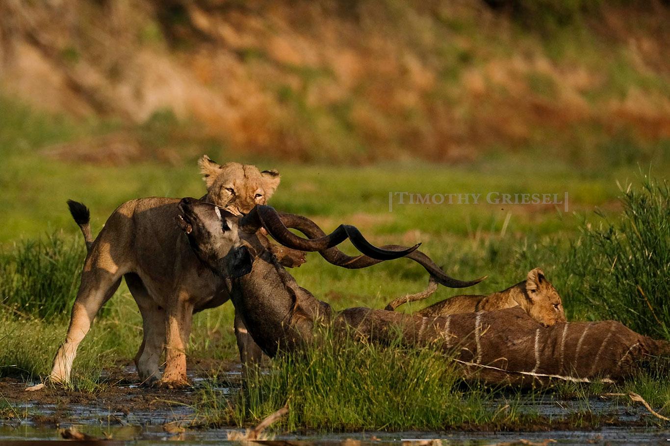 Lions---1-1.jpg