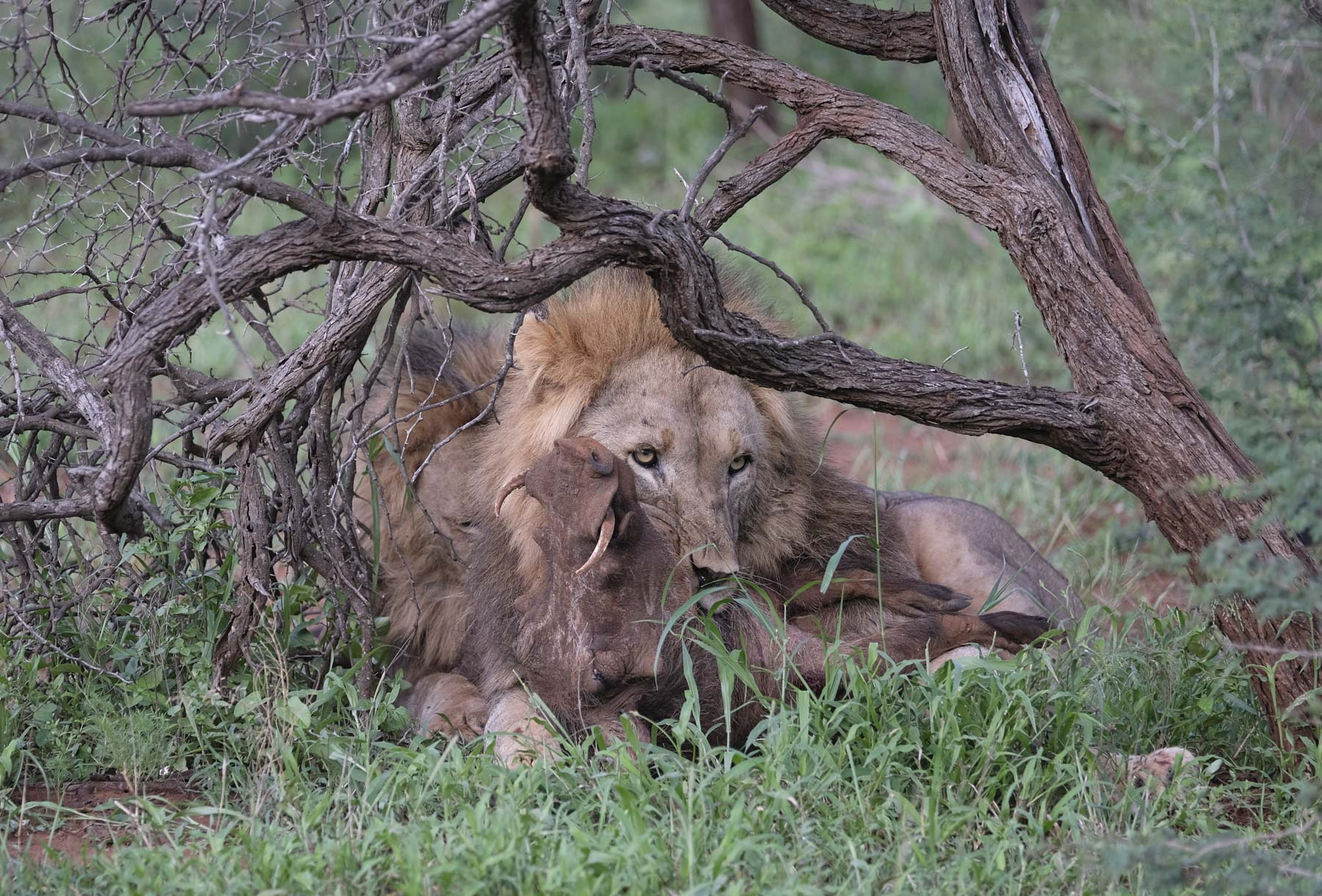 Lion and Warthog