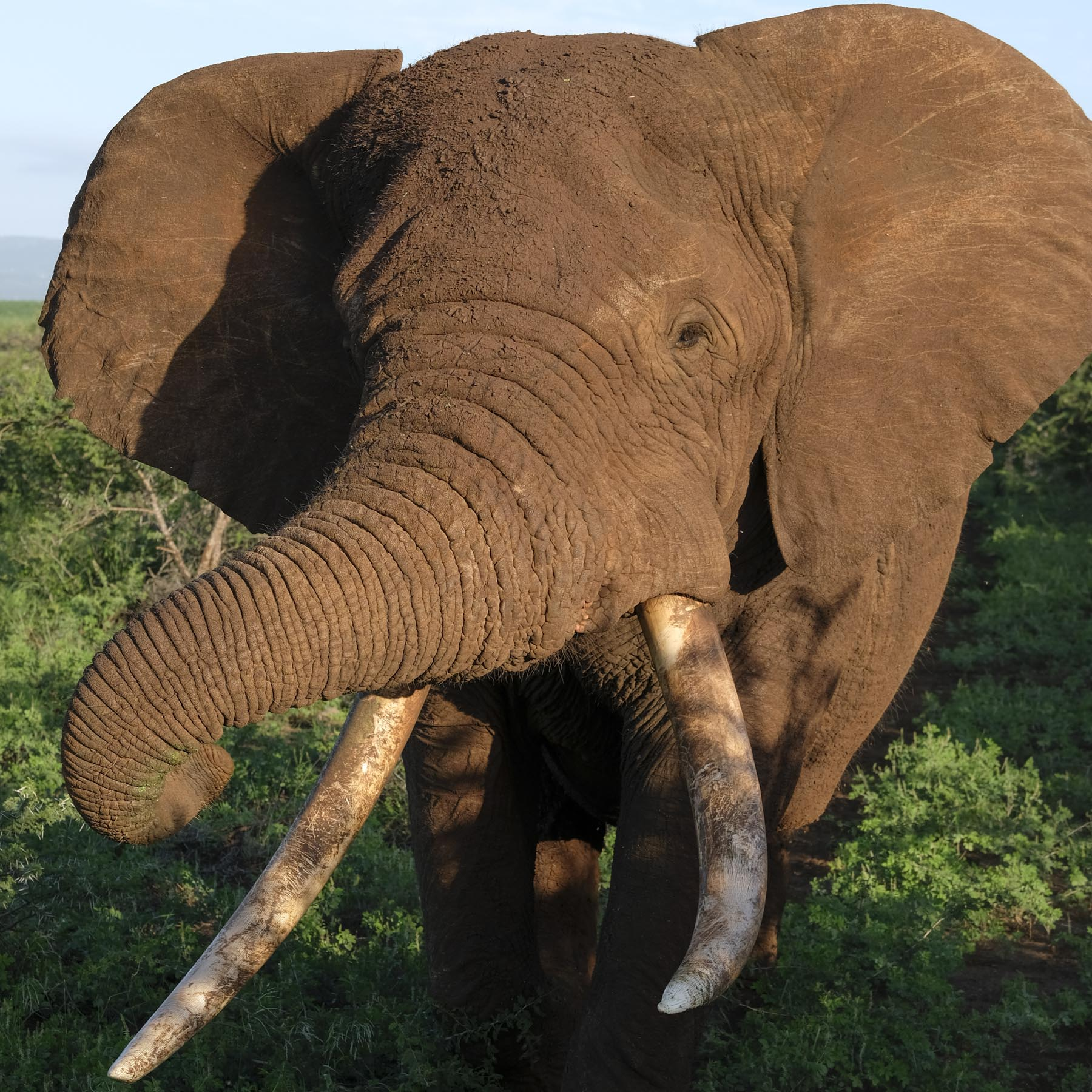 Close and Personal with a Big Tusker