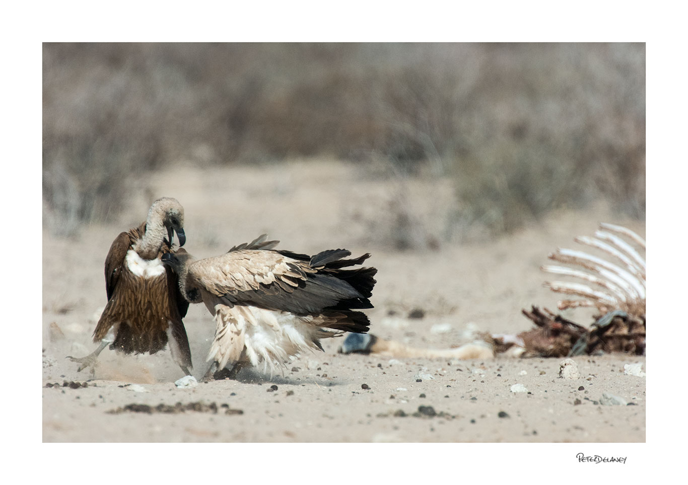 White-backed Vultures fight over carcass