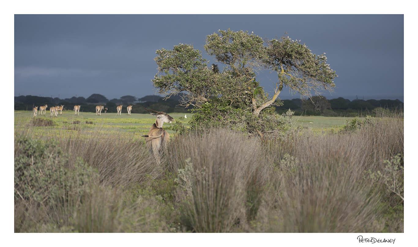Eland, South Africa's biggest antelope,  De Hoop Nature Reserve