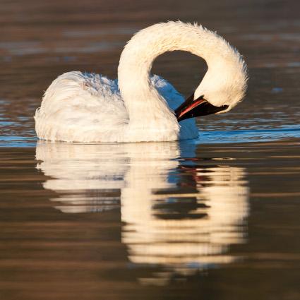 Trumpeter_Swan_preening425.jpg