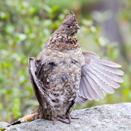 Ruffed_Grouse_drumming425.jpg
