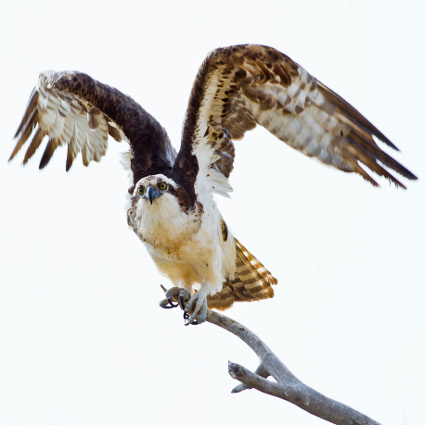 Osprey_taking_flight425.jpg