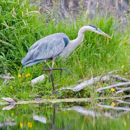 Great_Blue_Heron_stalking425.jpg