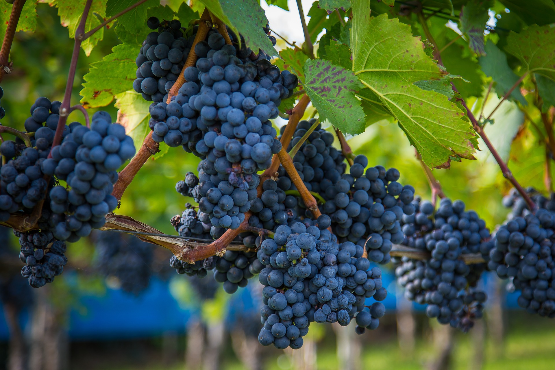 "Maxmann,  Wine Grapes  (30 September 2017). CC0 Creative Commons.  Alt text: A photo of grapes in a grape wine plantation                        Normal    0                false    false    false       EN-SG    X-NONE    X-NONE                                                                                                                                                                                                                                                                                                                                                                                                                                                                                                                        /* Style Definitions */  table.MsoNormalTable {mso-style-name:""Table Normal""; mso-tstyle-rowband-size:0; mso-tstyle-colband-size:0; mso-style-noshow:yes; mso-style-priority:99; mso-style-parent:""""; mso-padding-alt:0cm 5.4pt 0cm 5.4pt; mso-para-margin-top:0cm; mso-para-margin-right:0cm; mso-para-margin-bottom:10.0pt; mso-para-margin-left:0cm; line-height:115%; mso-pagination:widow-orphan; font-size:11.0pt; font-family:""Calibri"",""sans-serif""; mso-ascii-font-family:Calibri; mso-ascii-theme-font:minor-latin; mso-hansi-font-family:Calibri; mso-hansi-theme-font:minor-latin; mso-fareast-language:EN-US;}"