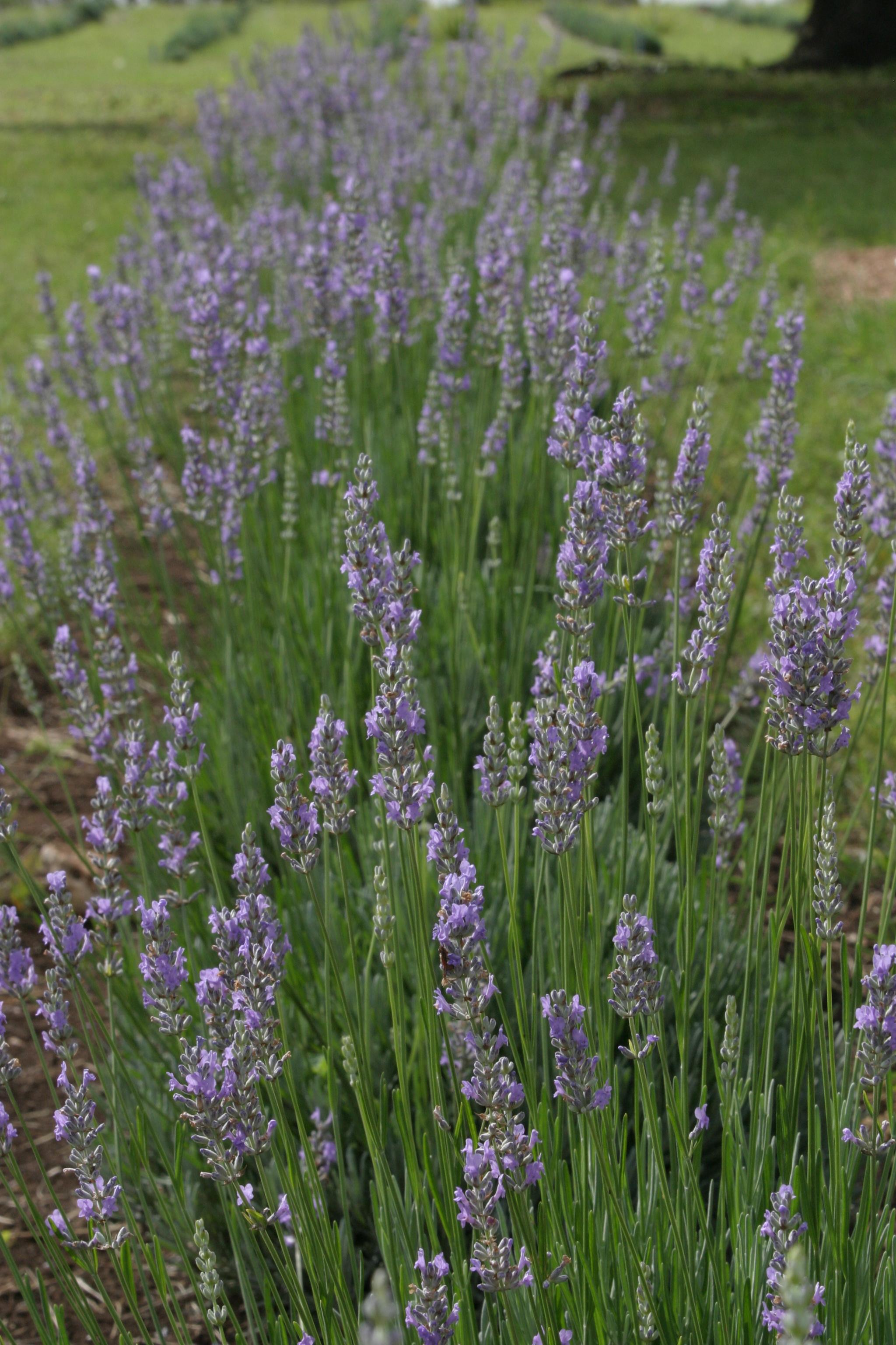lavender 2.jpg