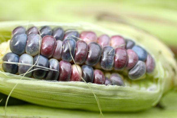 corn @talkoftomatoes