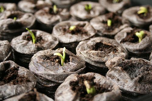 artichoke seed starts