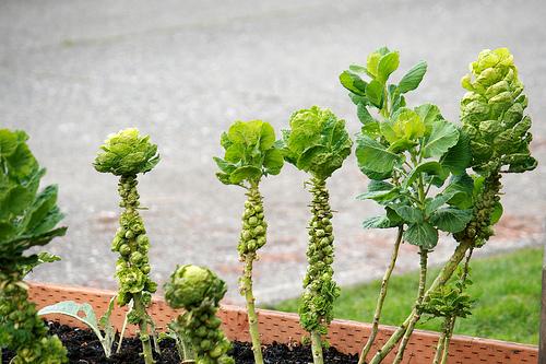 brussel sprouts www.talkoftomatoes.com