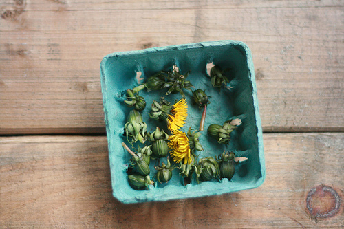 dandelion buds