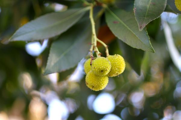 irish strawberry tree | talkoftomatoes.com