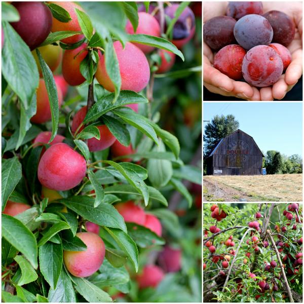 plums @talkoftomatoes