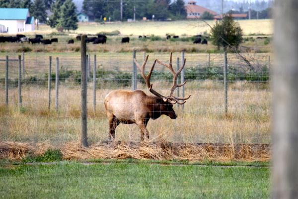 rosse posse elk farm @talkoftomatoes - 46
