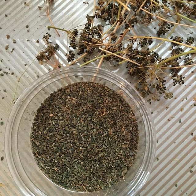 Harvesting parsley seeds from my garden... #seedsaving #seedsavers #seedsave #herbs #gardening
