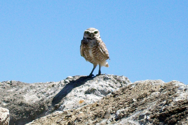 PG&E Company Surveys for Burrowing Owls