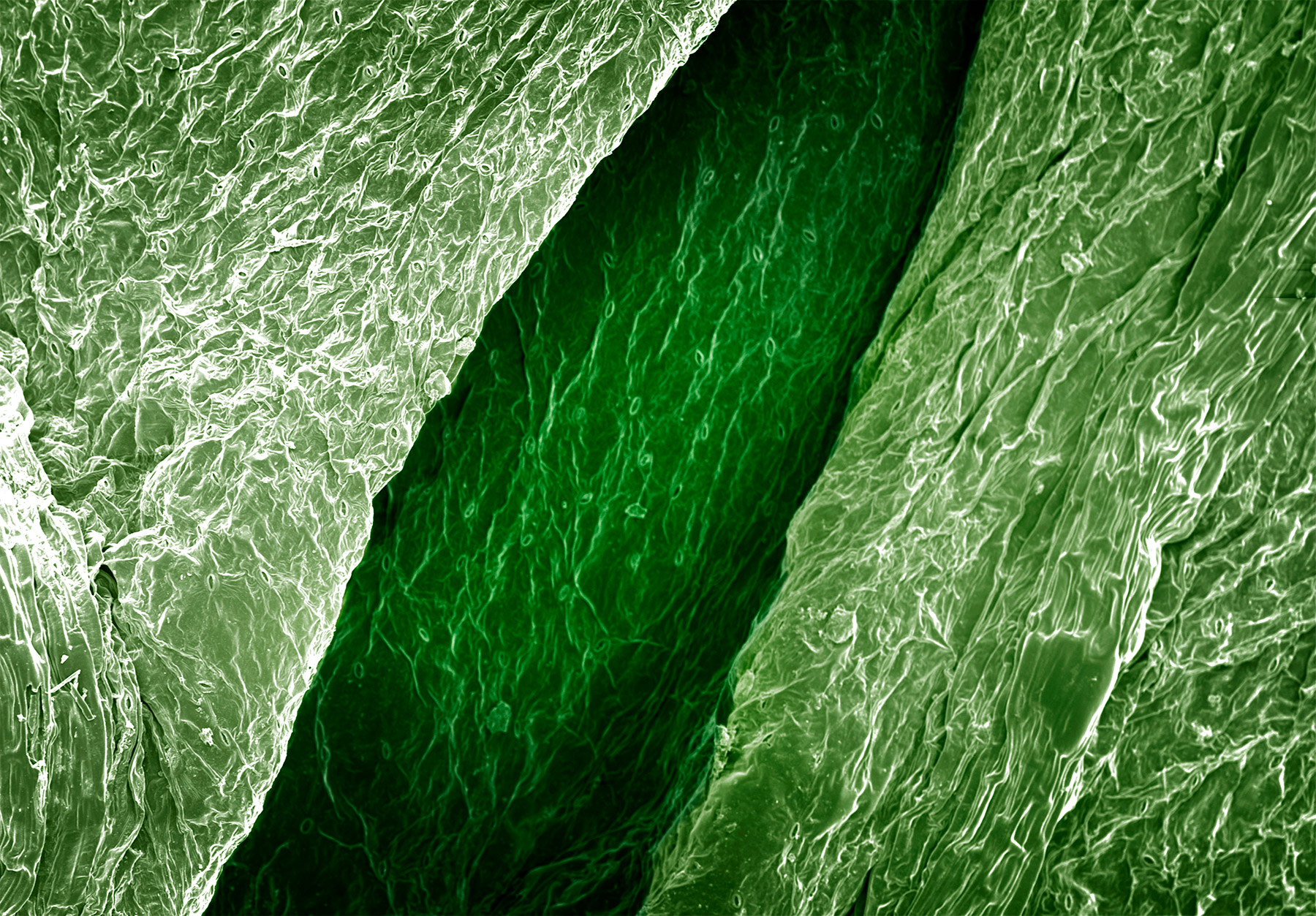 terra cibus no.3: celery leaf  85x magnification