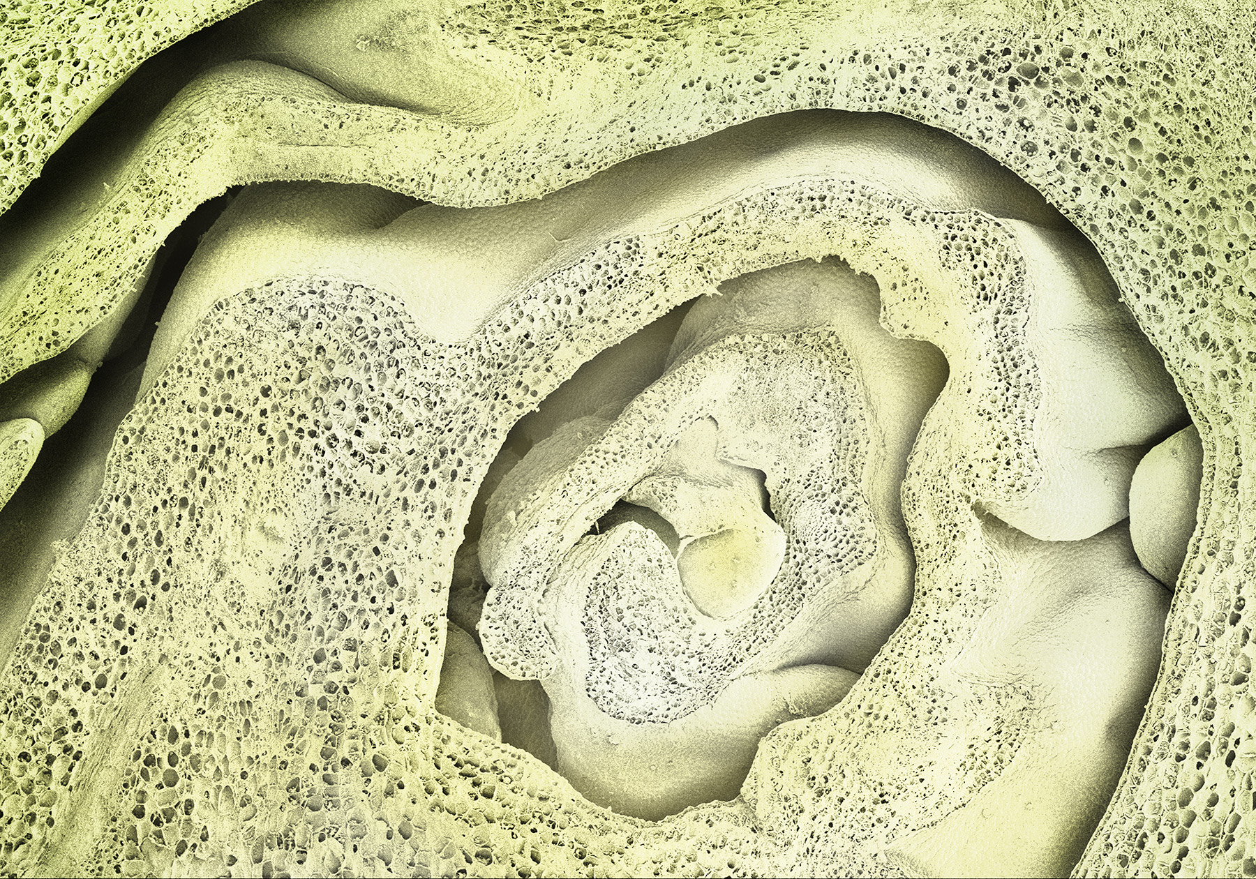 terra cibus no.15: brussel sprout  110x magnification