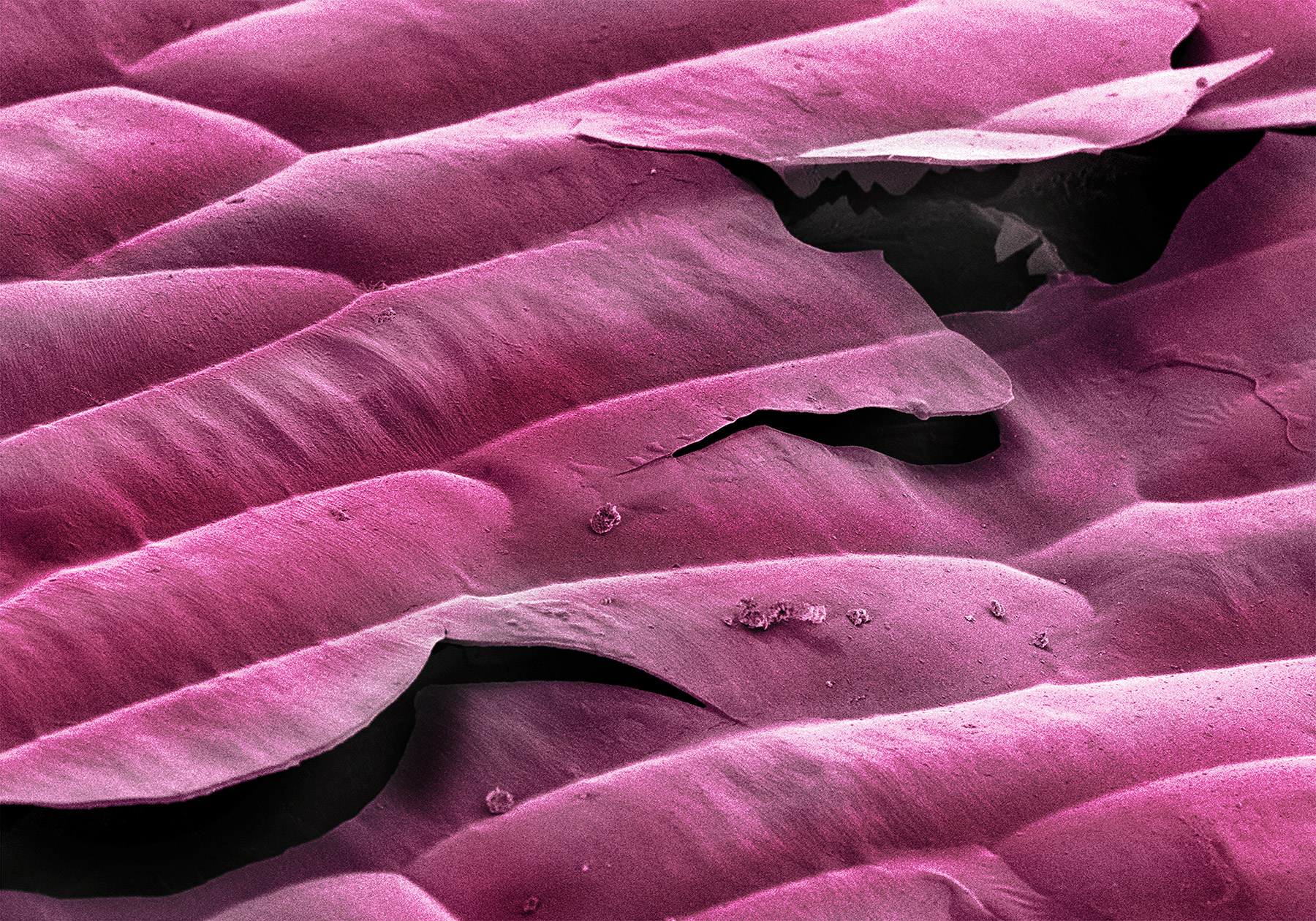 terra cibus no.23: purple onion  230x magnification