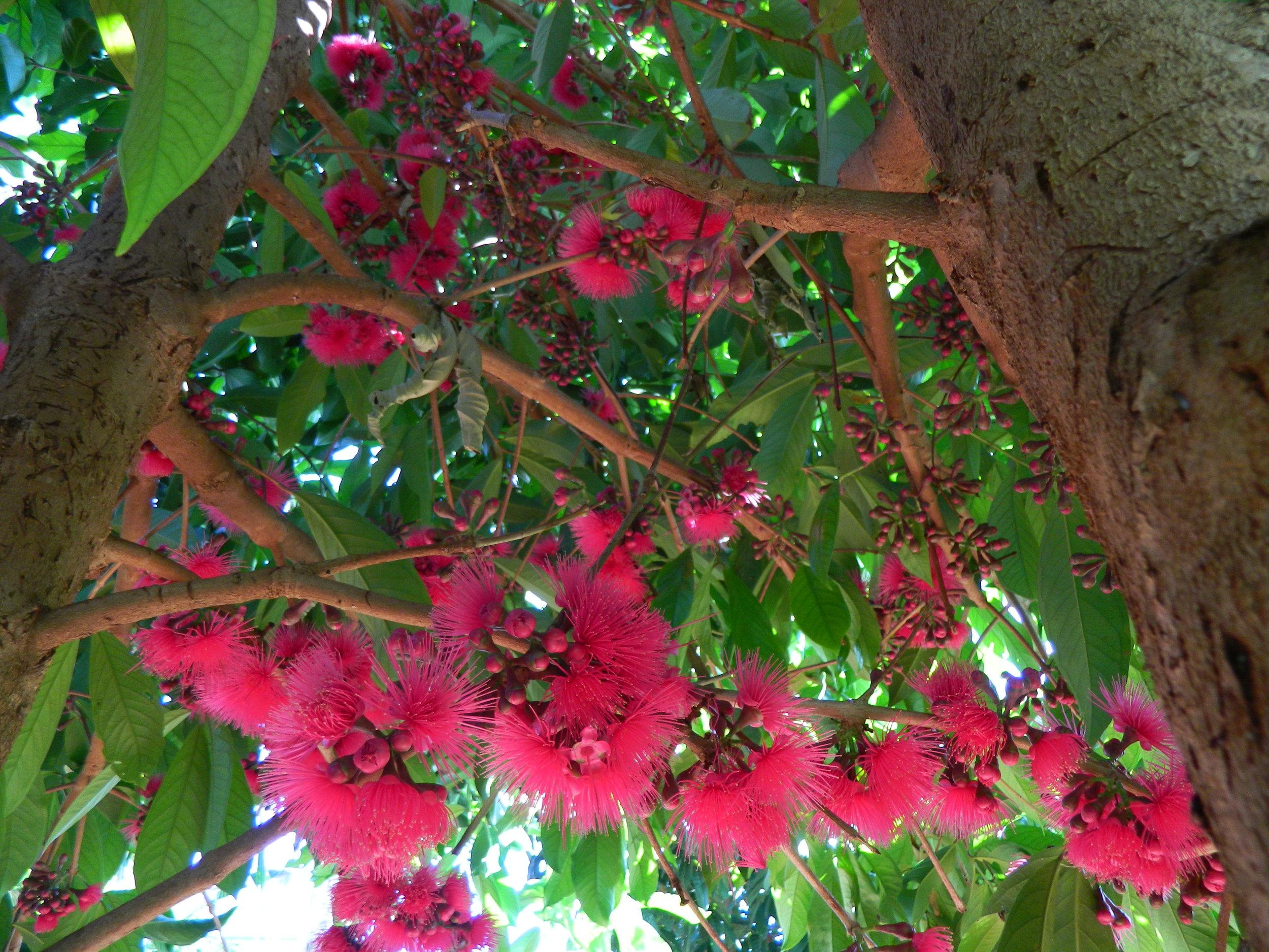 Mountain Apple Tree in Bloom.JPG