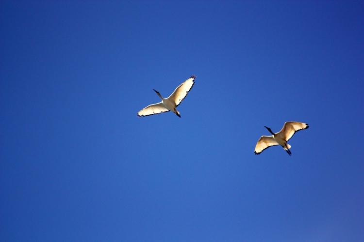 bird-birds-ibis-flight-55817.jpg