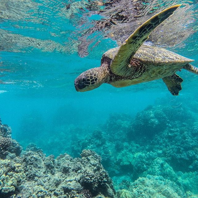 It's #AlohaFriday, and we're marveling at the abundance of oceanic adventures here on Maui. Who else loves our honu friends? 🤗⠀ ⠀ (If you do see a sea turtle, make sure to give it plenty of space. These animals are protected by law, and it is illegal to touch or harass them.)⠀ .⠀⠀⠀⠀⠀⠀ .⠀⠀⠀⠀⠀⠀ .⠀⠀⠀⠀⠀⠀ .⠀⠀⠀⠀⠀⠀ .⠀⠀⠀⠀⠀⠀ #travelgram #igtravel #worldtraveler #travelbug #worldly #destination #adventure #thegoodlife #mauinokaoi #ineedavacation #travelfriendly #wheretonext #vacaymode #nostaycation #paradise #mauihawaii #maui #vacation #ohana #bedandbreakfast