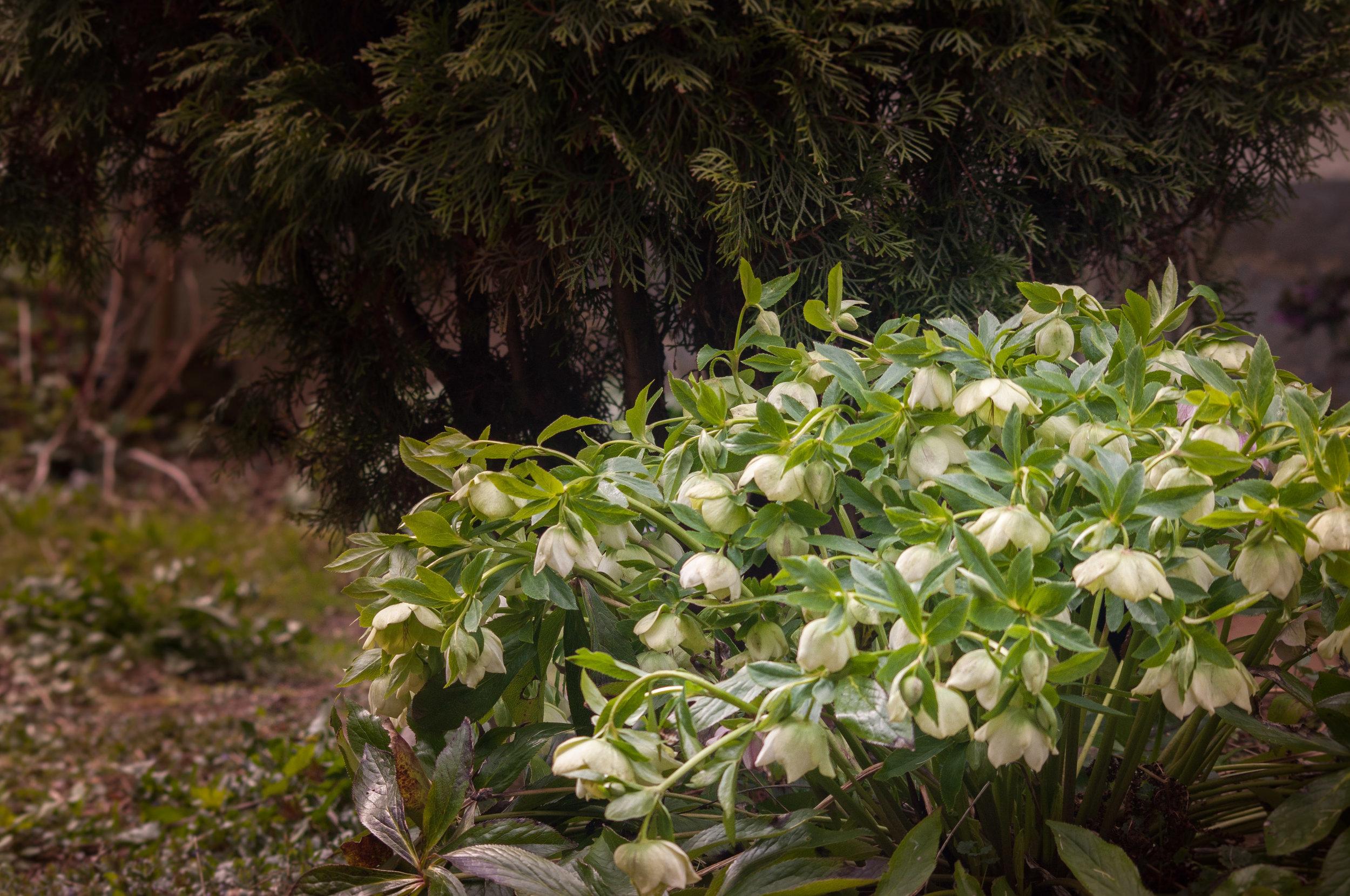 hellébore hybride au pied d'un thuya