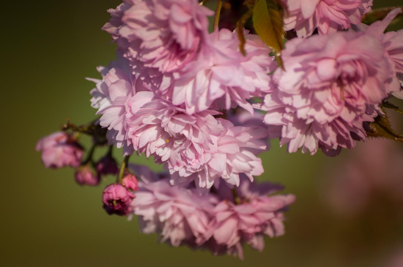 Fleurs de  prunus kiku shidare sakura , cerisier pleureur