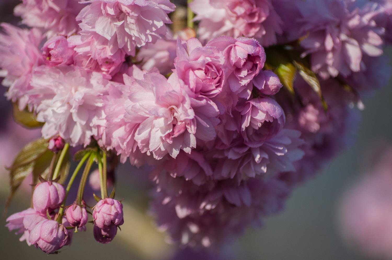 cerisier à fleurs-4.jpg