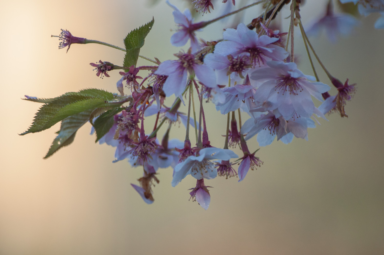 cerisier à fleurs-8.jpg