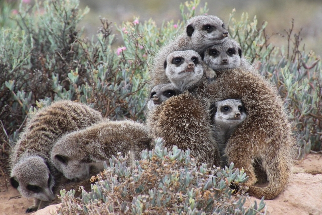 Meerkats Watching.jpg