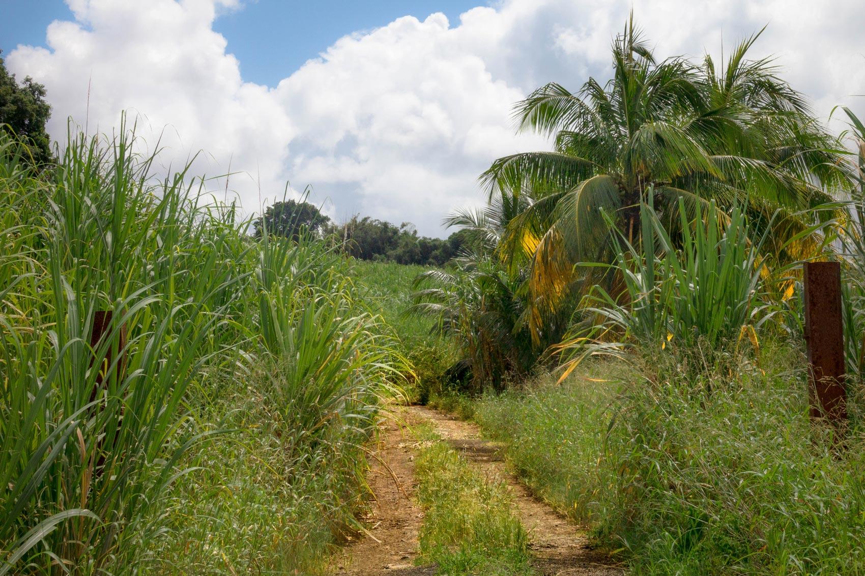 martinique, champ de canne à sucre et cocotier