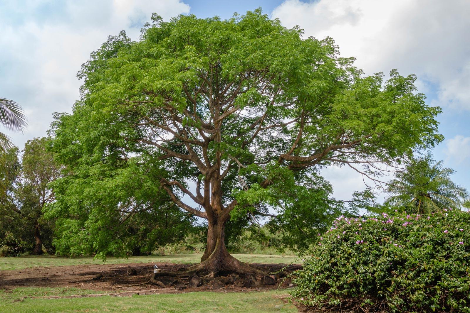 martinique, plantation trois rivieres : arbre centenaire