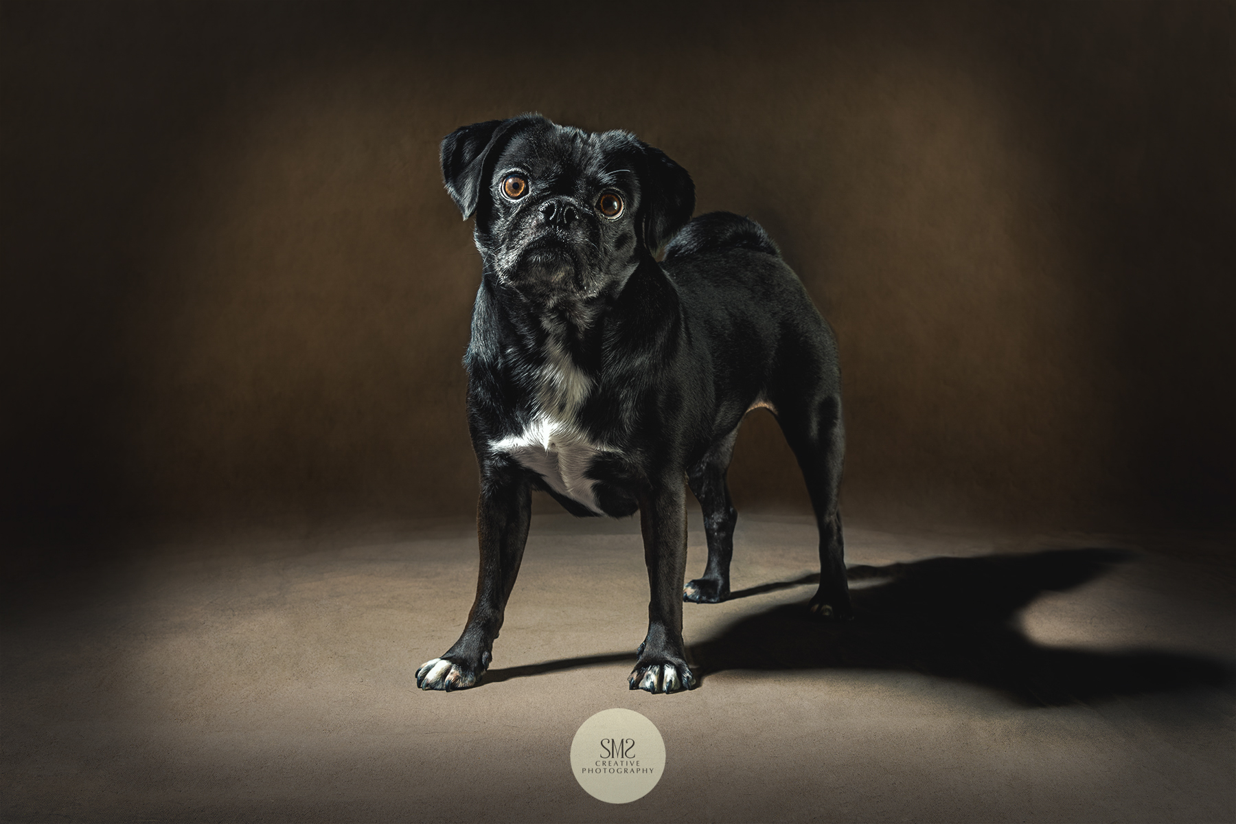 A photo-shoot for an adorable pug 2108.