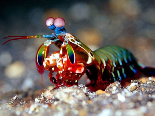A Beautiful Mantis Shrimp