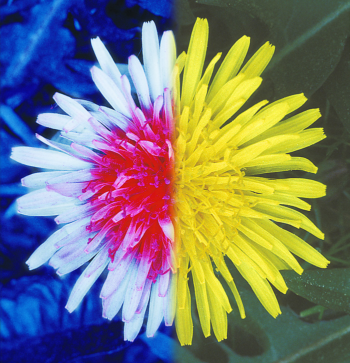 A Dandelion viewed under UV (Left) and normally (Right)