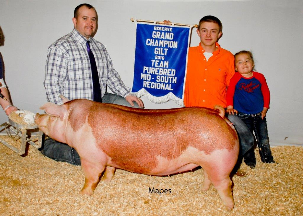 Reserve Grand Champion Gilt