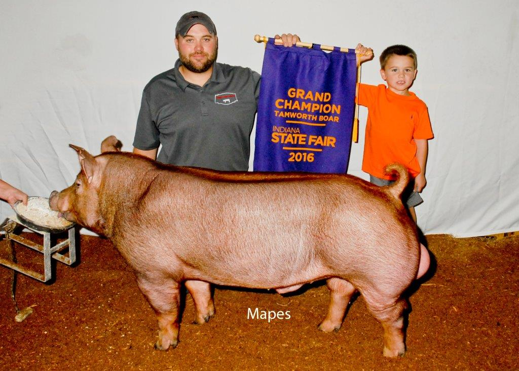 INSF Champion Tamworth Boar