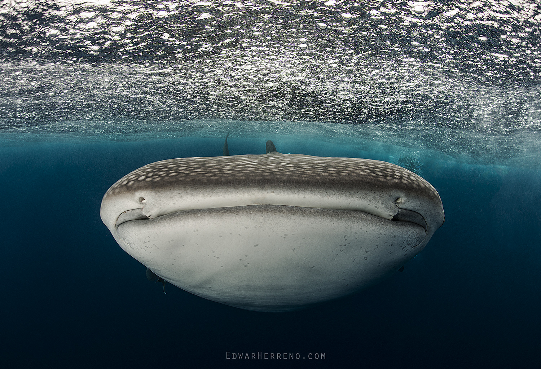 Whale Shark - Cocos Island