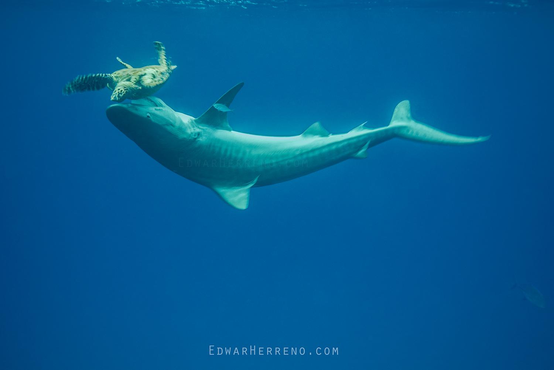 Tiger Shark Killing a Hawksbill Turtle - Cocos Island