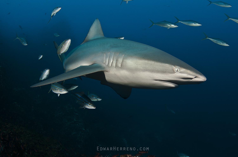 Galapago Shark - Dirty Rock