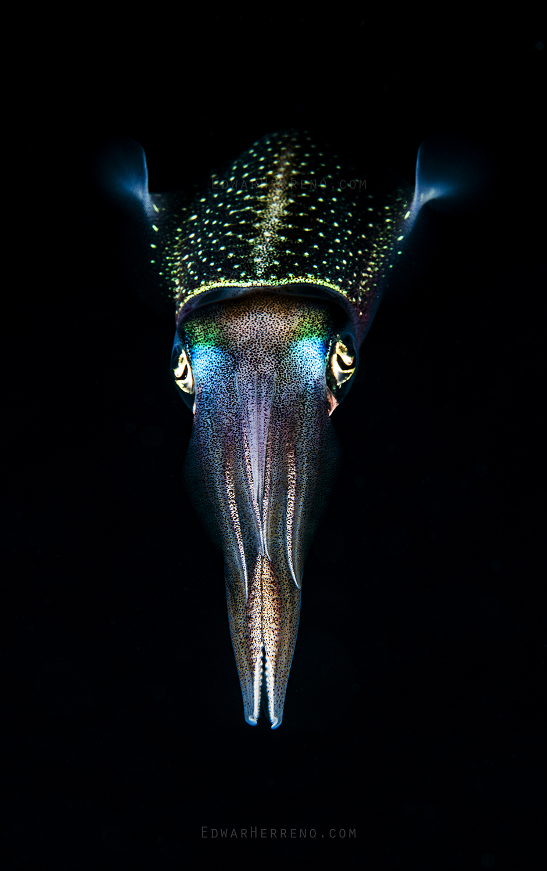Caribbean Reef Squid - Utila