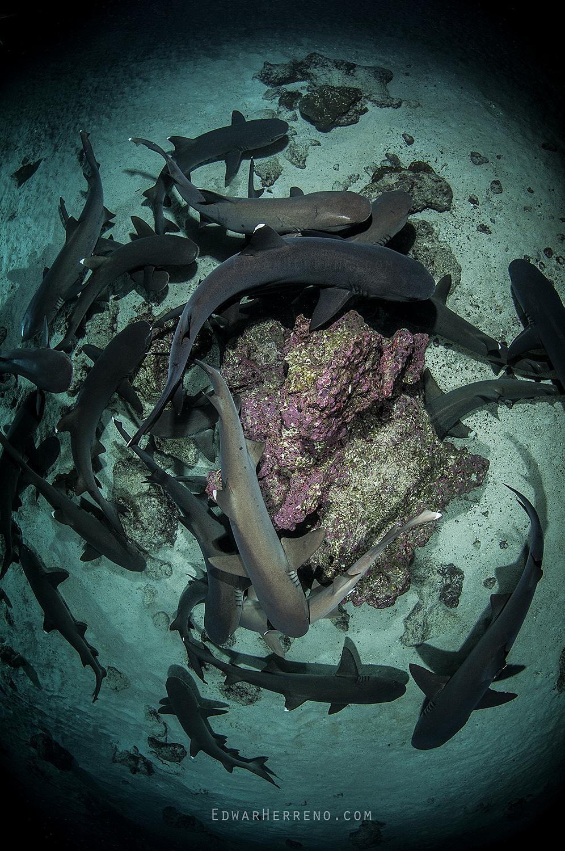 Whitetips Reef Shark Hunting at Night - Cocos Island