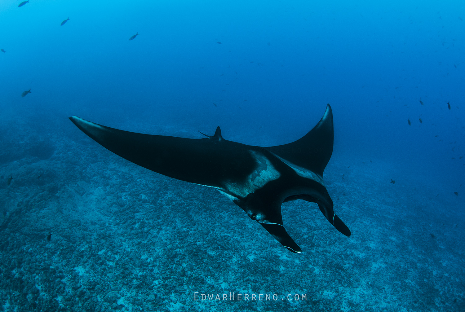 Giant Pacific Manta - Catalina Island