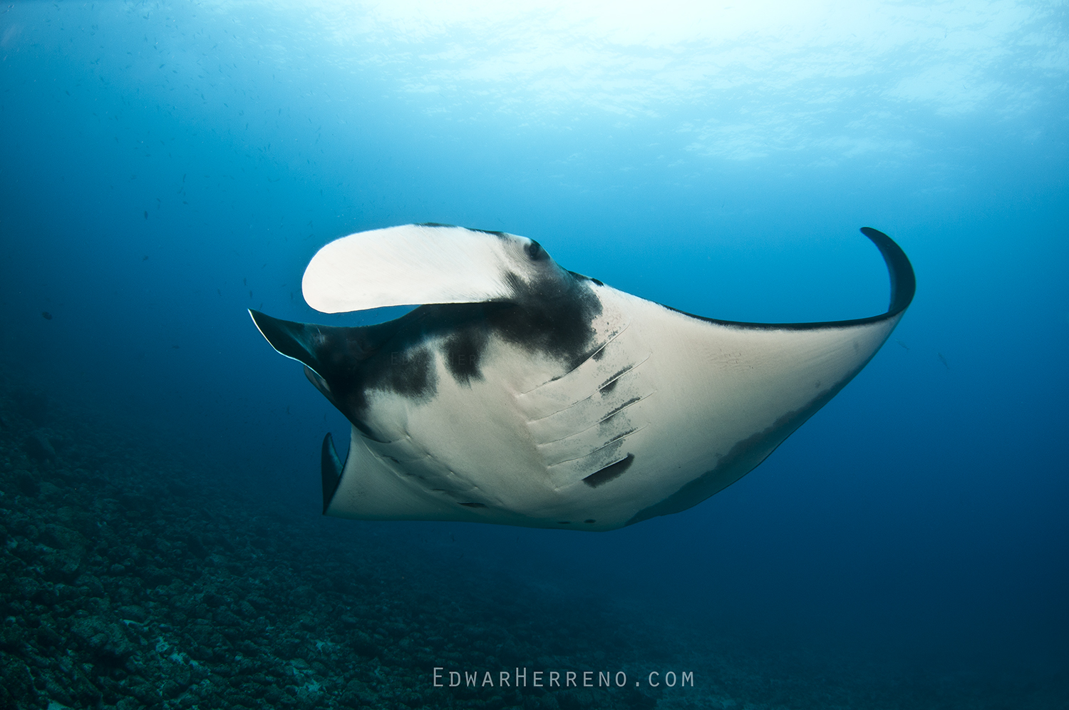 Giant Pacific Manta - Bat Island